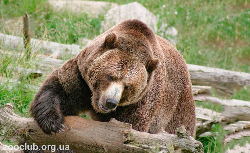Медведь кадьяк 1200 кг