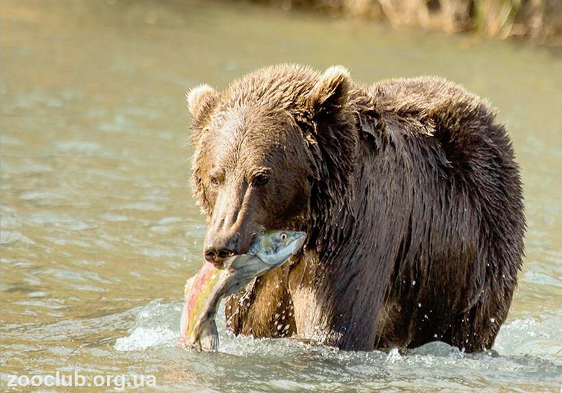 Медведь кадьяк рост
