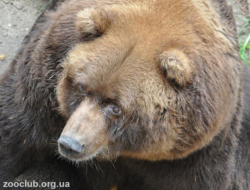 Медведь кадьяк фото