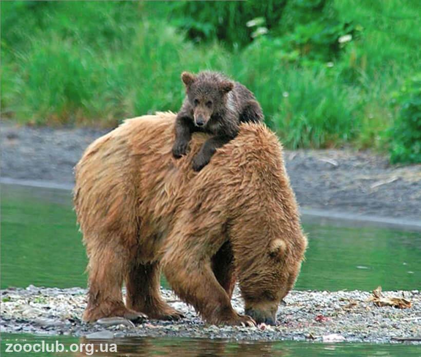 фото медведя кадьяка