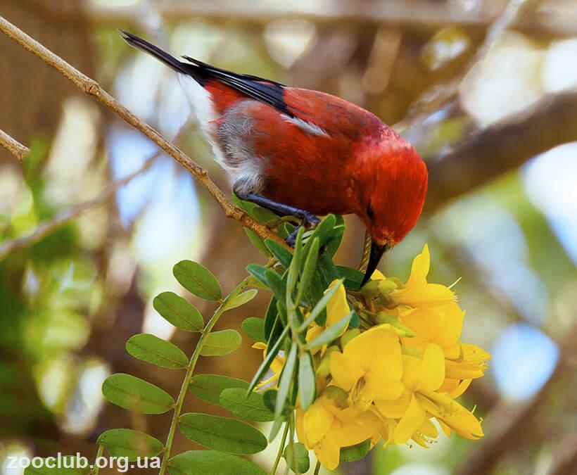 Огненная гавайская цветочница фото