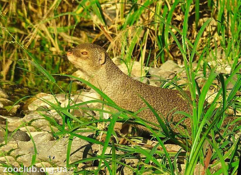 Яванский мангуст