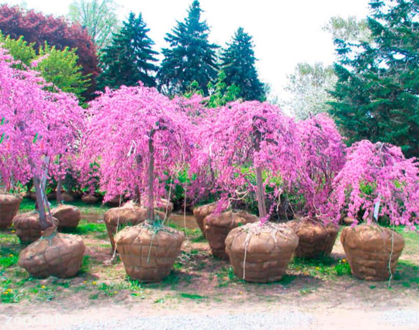 какое дерево называют иудиным