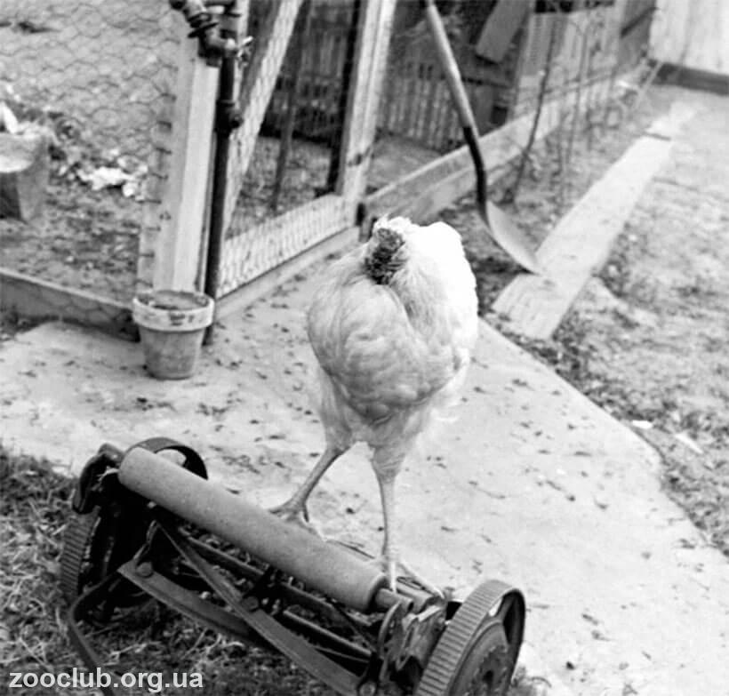 курица с отрубленной головой