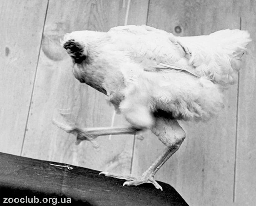 курица без головы бегает