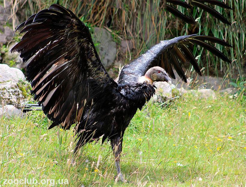 Андский кондор размах крыльев