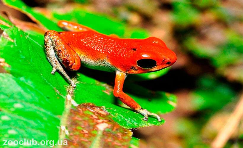 клубничная ядовитая лягушка