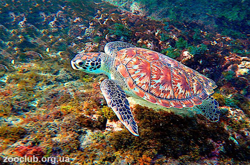 бисса черепаха фото