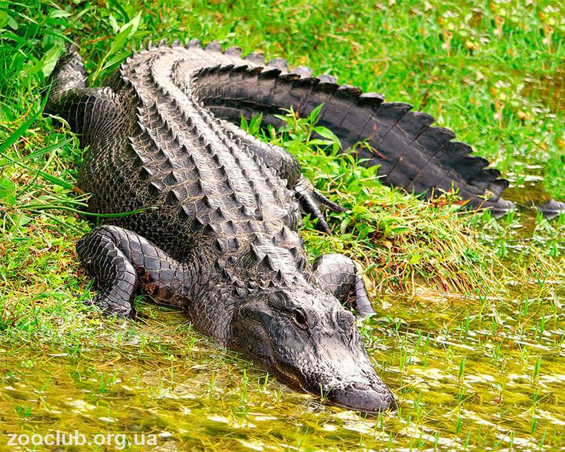Ajnj Alligator mississippiensis