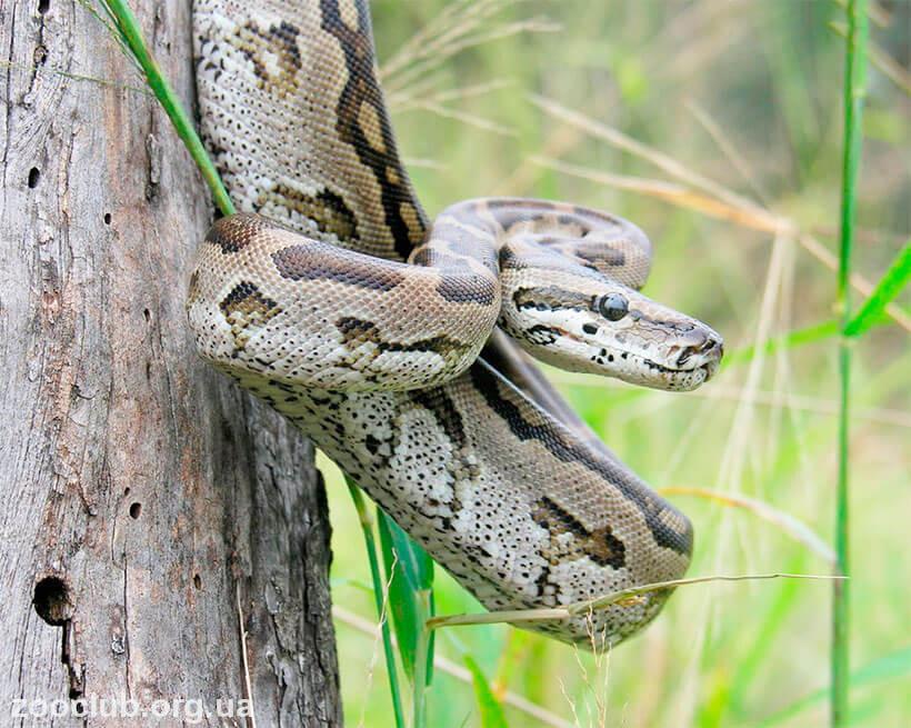 фото Python natalensis