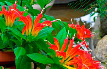 Эсхинантус. Выращивание и уход