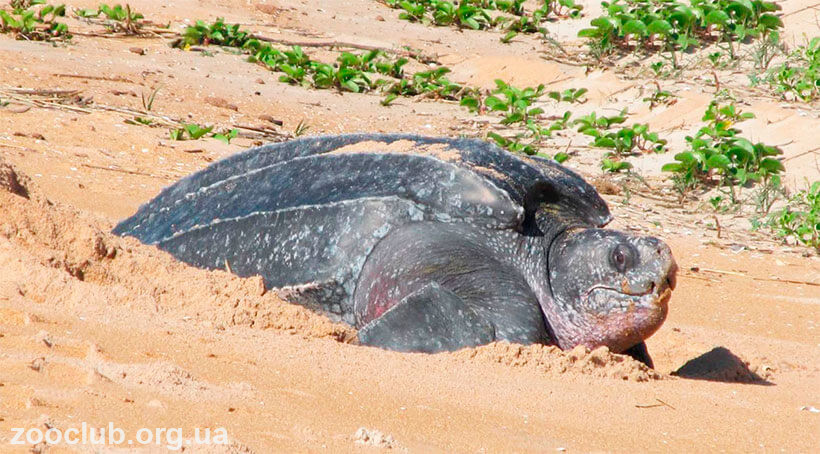 фото кожистой черепахи