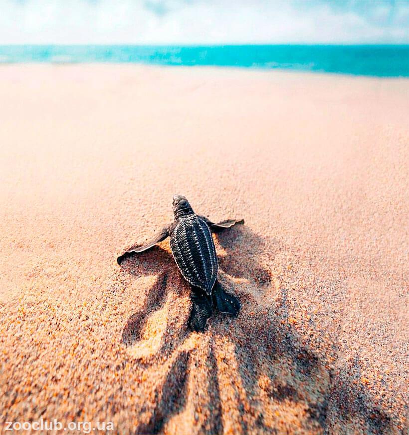 Черепаха кожистая фото