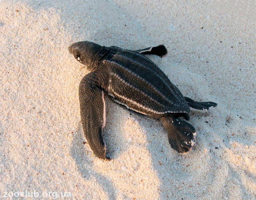 кожистая черепаха фото