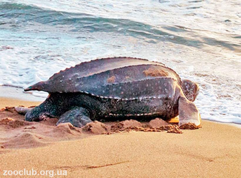 Фото черепахи кожистой