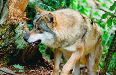 Большой шакал, или африканский золотой волк
