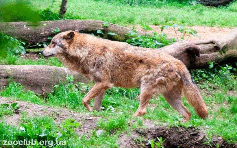 африканский золотой волк