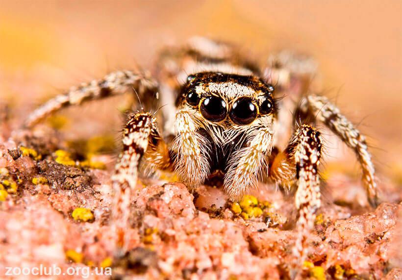 Фото паука-скакуна обыкновенного
