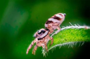 Паук-скакун обыкновенный