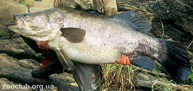 Нильский окунь трофейная рыбалка