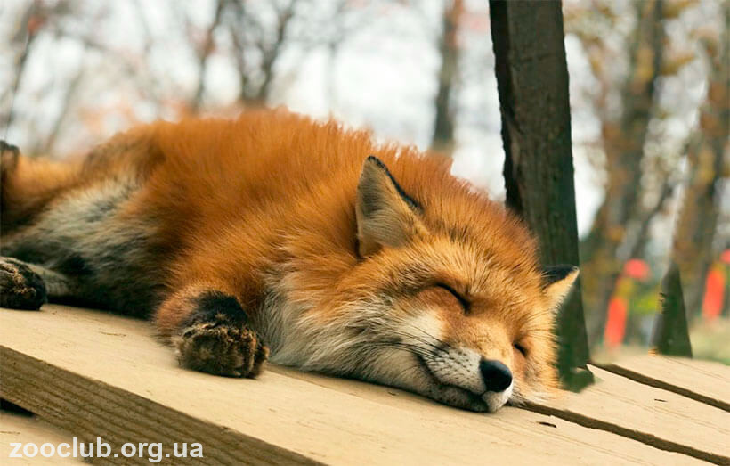 Деревня лисиц в Японии