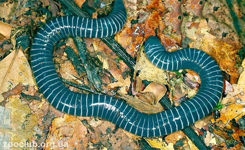 Кольчатая червяга фото