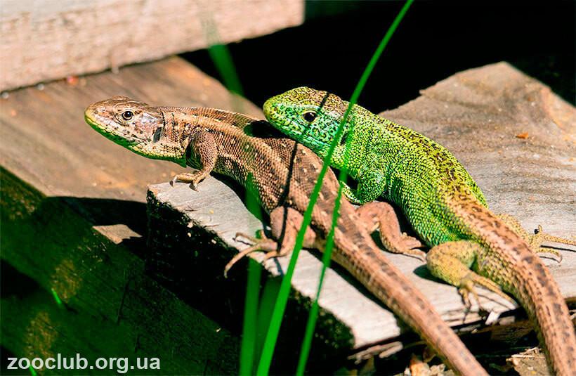 Фото ящерицы обыкновенной