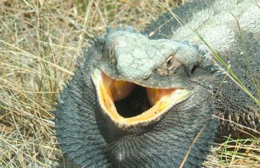 Бородата агама, або бородата ящірка