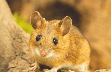 Мишак жовтогрудий, або миша жовтогорла