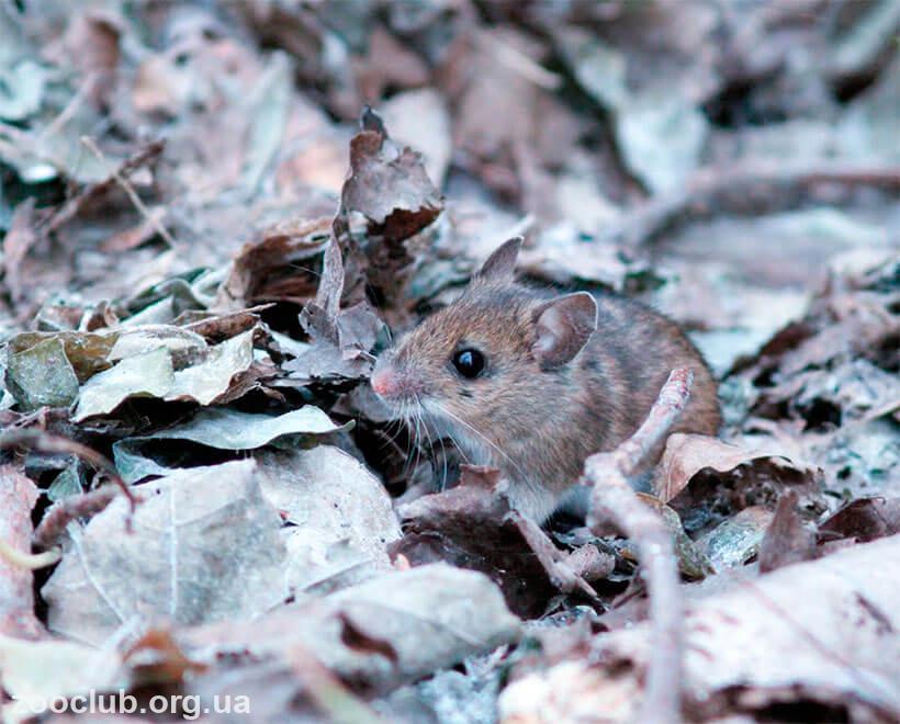 желтогорлая мышь где обитает