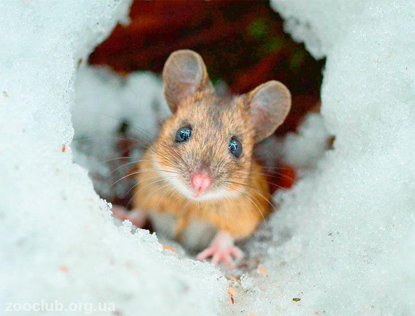 лесная желтогорлая мышь фото