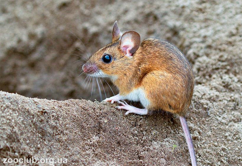 фото мыши лесной желтогорлой