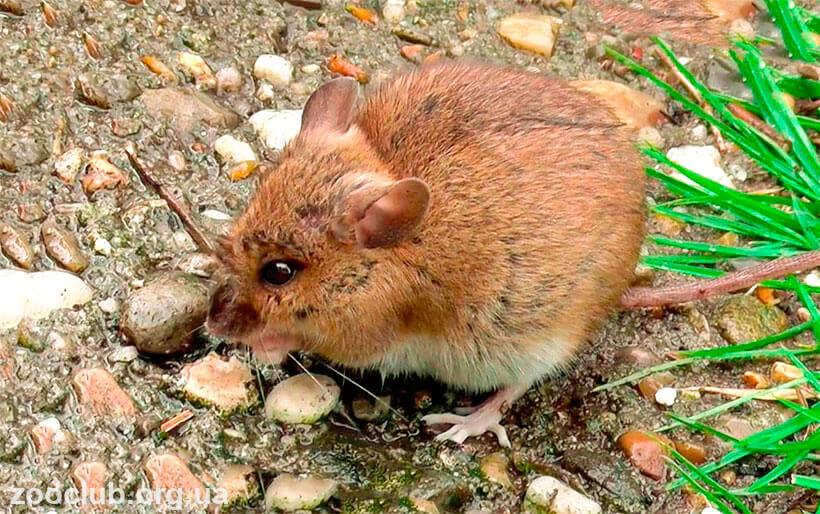 фото мыши европейской лесной