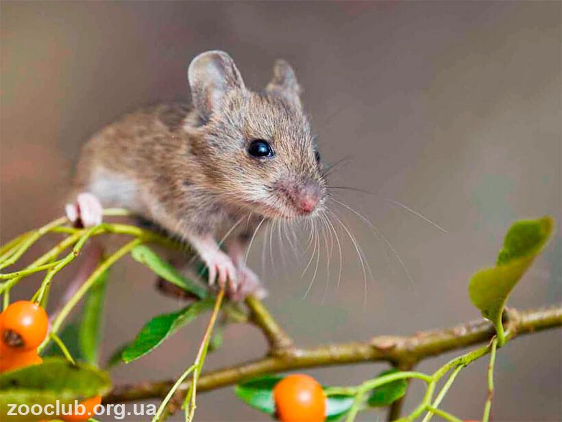 фото европейской лесной мыши