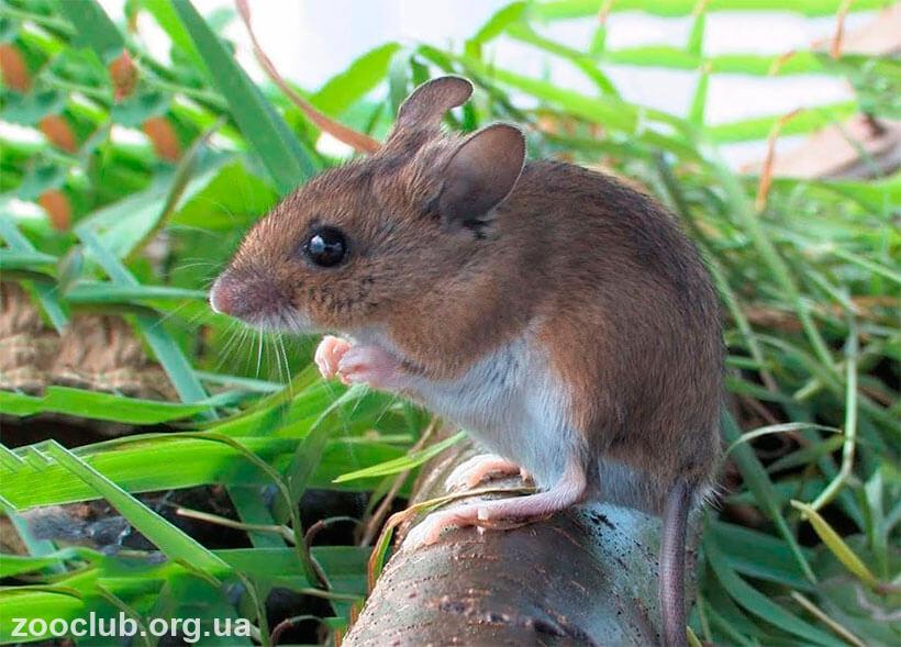 мышь европейская лесная фото