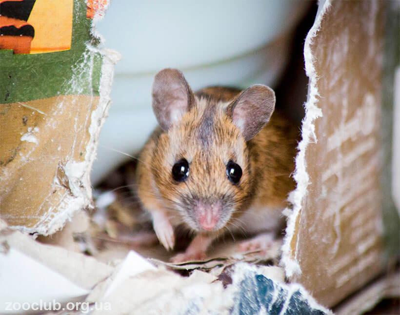 Европейская лесная мышь фото