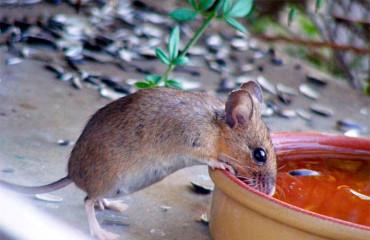 Европейская лесная мышь