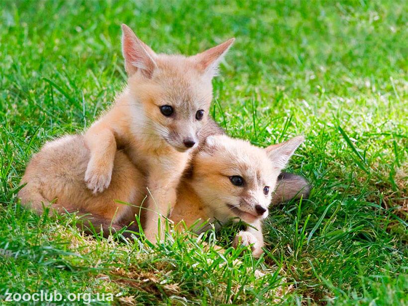 Vulpes macrotis