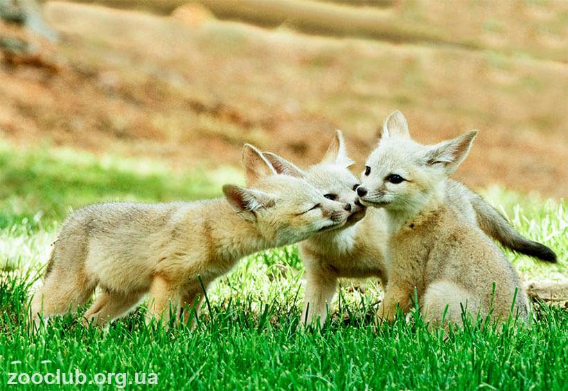 лисицы