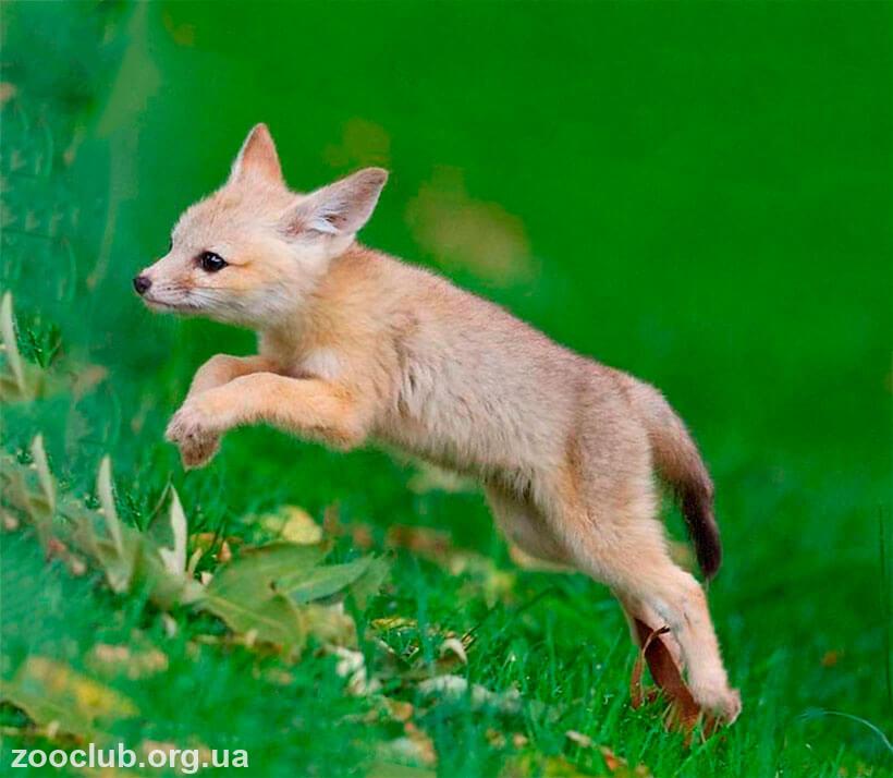 фото американской лисицы