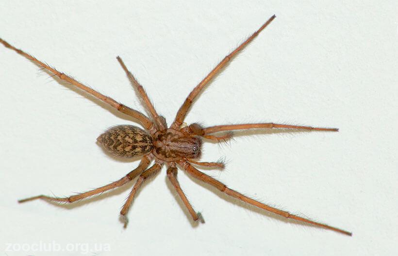 Фото чердачного паука