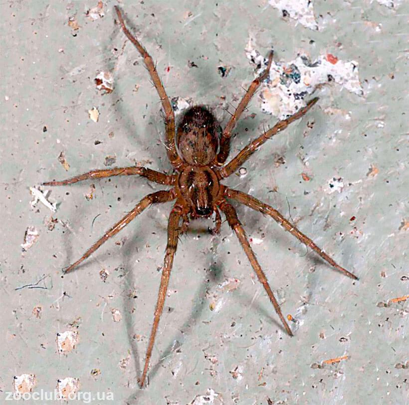 паук чердачный фото