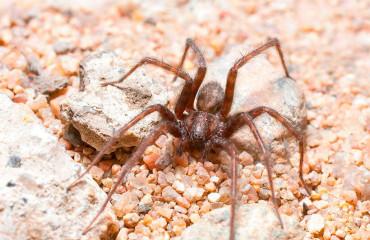 Будинковий павук, або тегенарія атріка