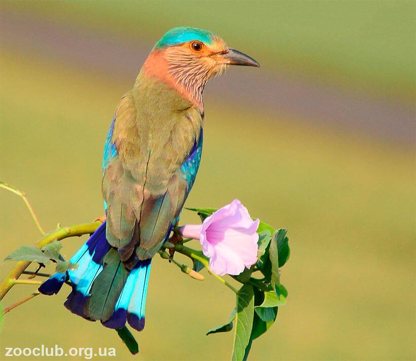 Фото сизоворонки бенгальской