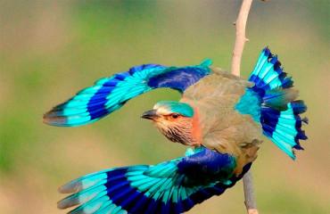 Сиворакша бенгальська