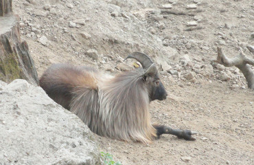 Гималайский тар