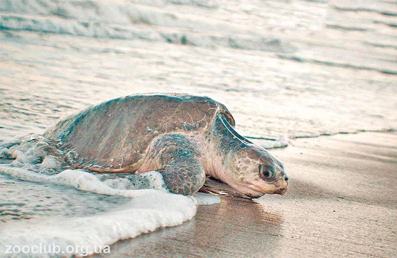 Оливковая черепаха фото