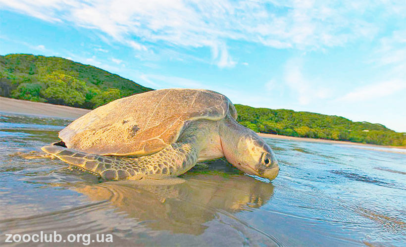 фото оливковой черепахи