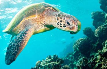 Морська оливкова черепаха, або тихоокеанська черепаха Рідлі