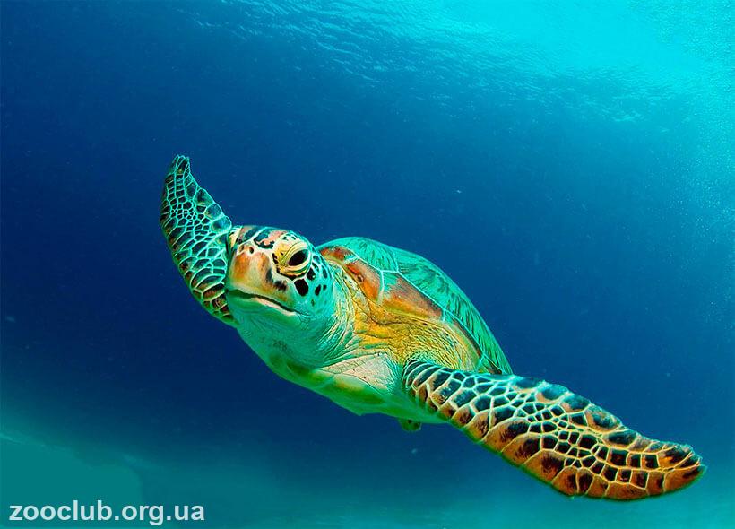 образ жизни зелёной морской черепахе